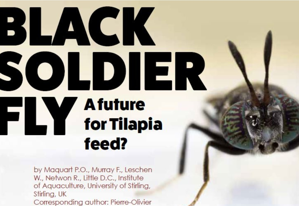 Black Soldier Fly A Future For Tilapia Feed